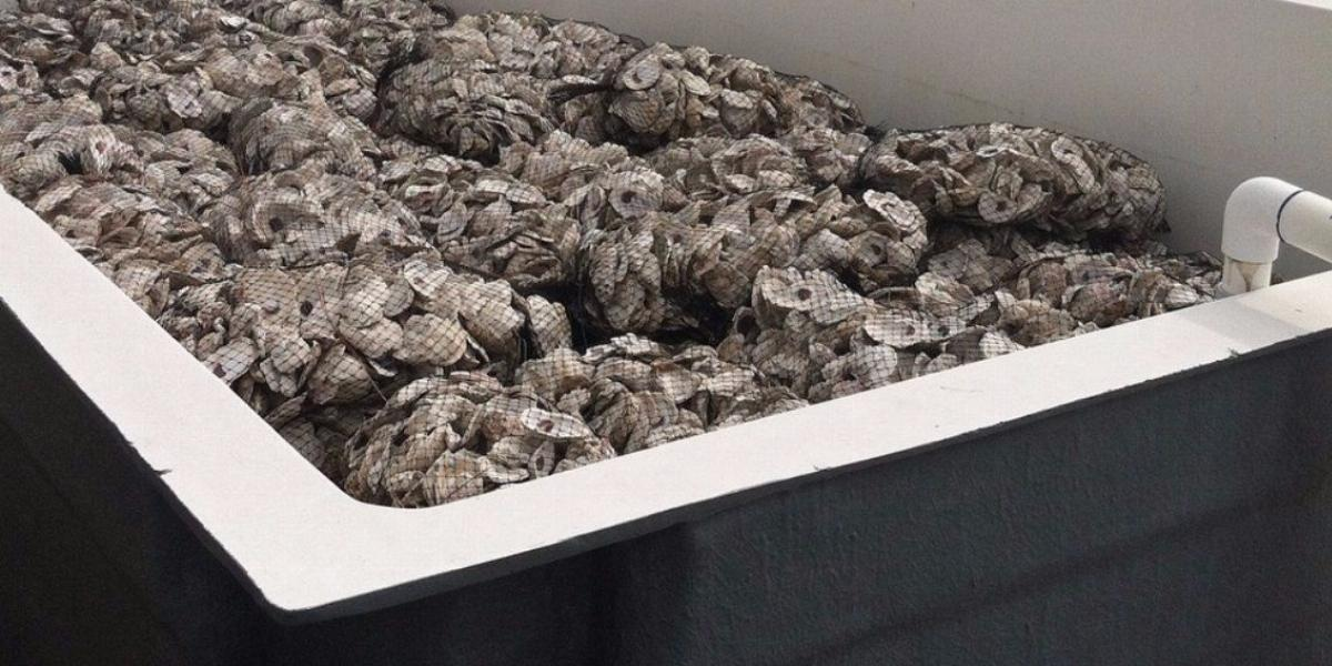 Oyster Shell Recycling At Vcu Rice Rivers Center Dumpsters Com